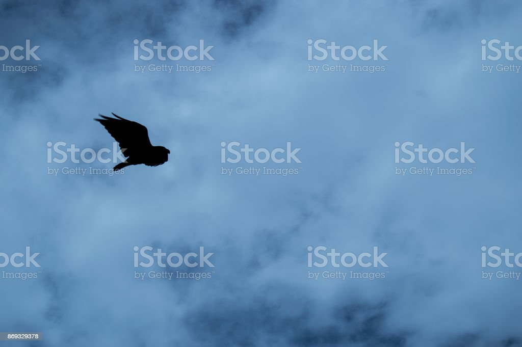 Corvus albicollis stock photo