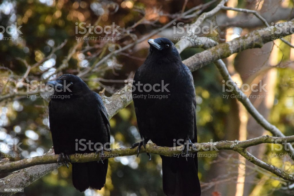 Corvus companions stock photo