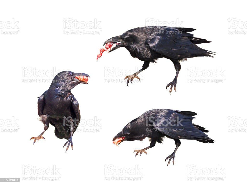 Fotografía de Corvus Corax Aislado Sobre Fondo Blanco Cuervo Negro ...