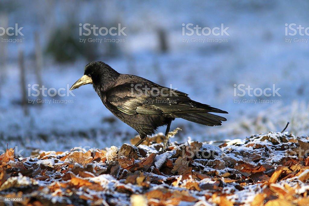 corvus frugilegus foraging on ground stock photo