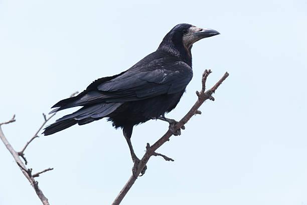 corvus frugilegus, rook. - saatkrähe stock-fotos und bilder