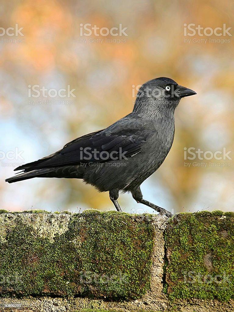 Corvus monedula (jackdaw) royalty-free stock photo