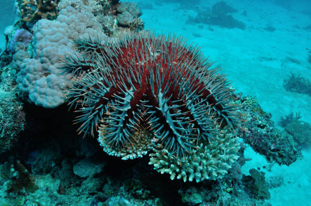 Corwn-of-thorns Starfish, Lady Elliot Island, Great Barrier Reef, Australia