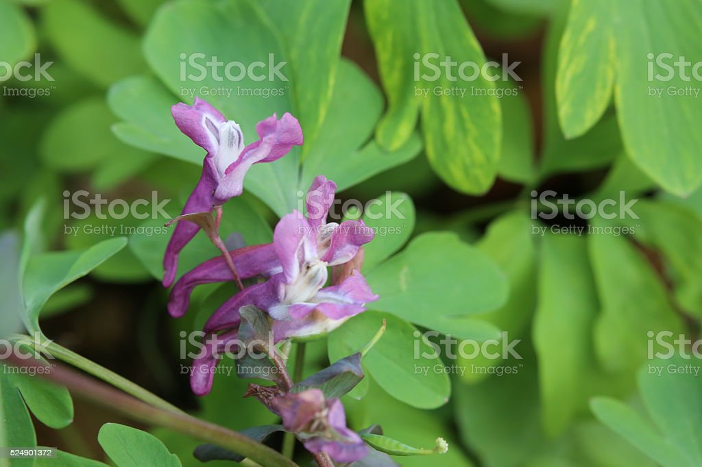 Corydalis cava, a species of fumewort, with blossoms stock photo