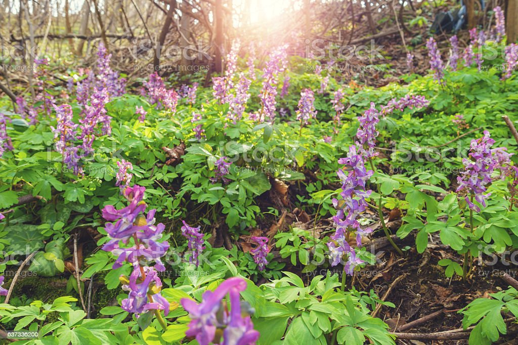 Corydalis Cava In Early Spring Forest stock photo