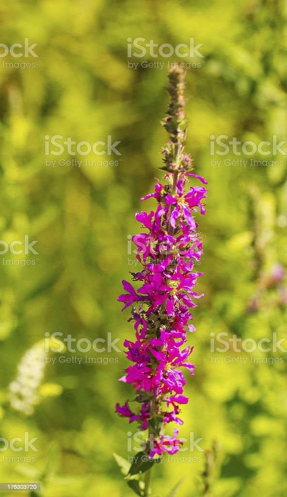Corydalis Cava stock photo
