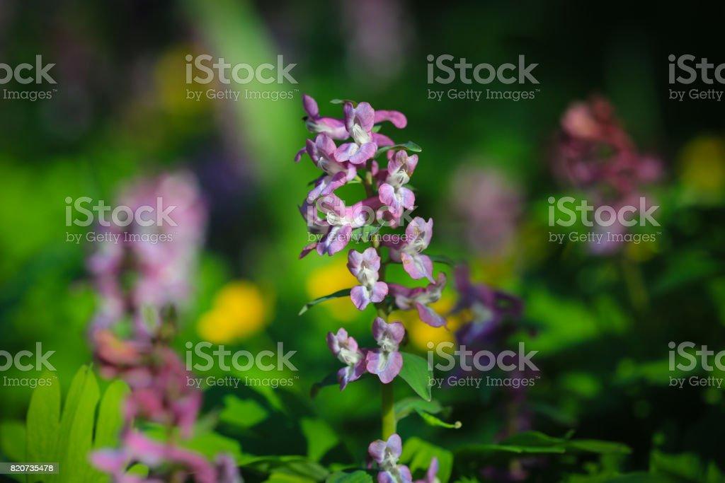 Corydalis cava (early spring flowers) stock photo