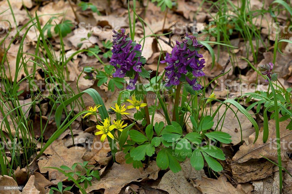 Corydalis First Spring Flower stock photo