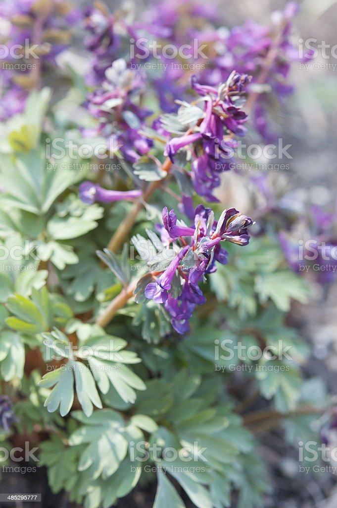 Corydalis in bllom stock photo
