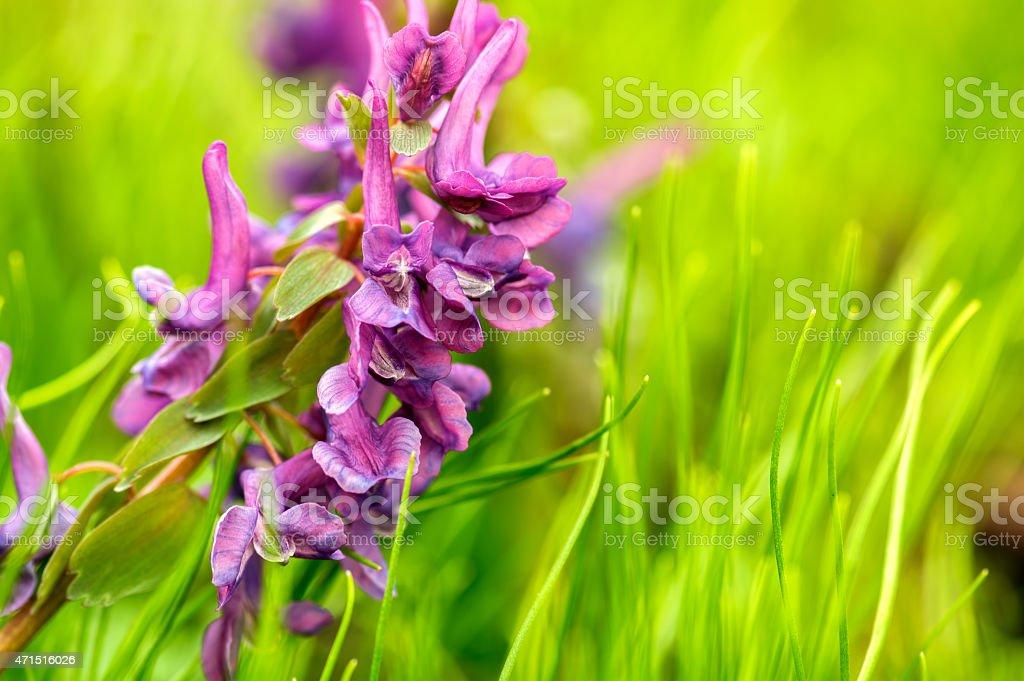 Corydalis solida (fumewort) stock photo