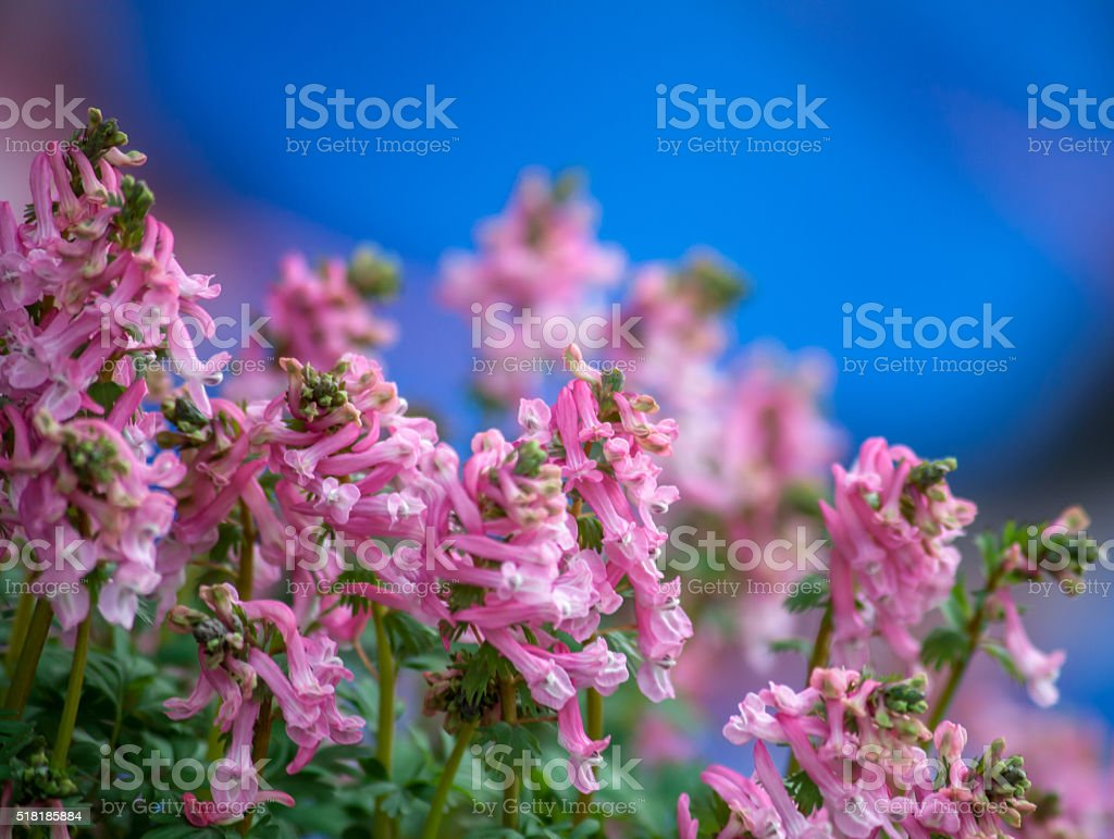 Corydalis solida Pink color Blossom  Blue Background stock photo