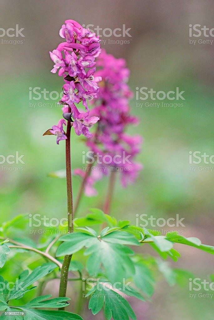 Corydalis solida, Purple flower of Hollowroot at wild stock photo