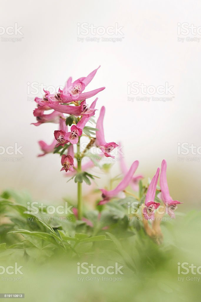 Corydalis solida, Purple flower of Hollowroot at wild stock photo