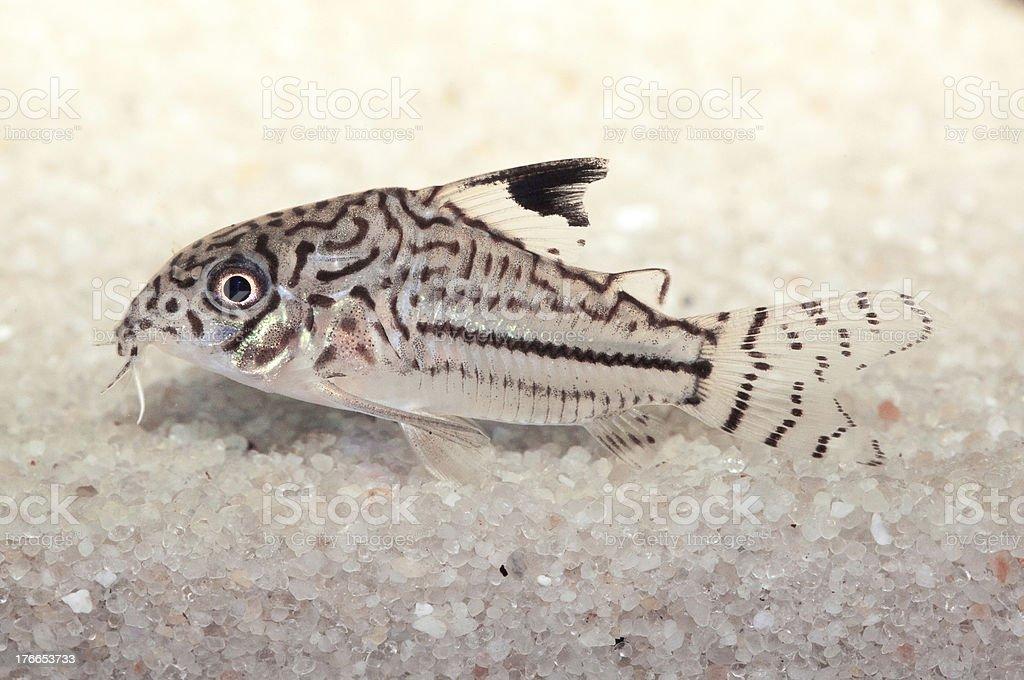 Acuario peces tropicales Corydoras julii foto de stock libre de derechos