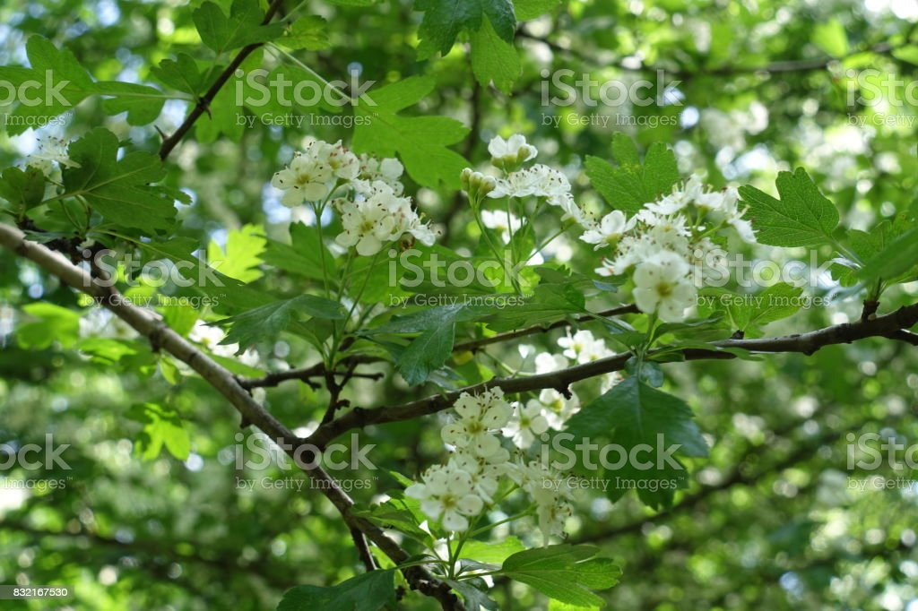 Corymb of small white flowers of Crataegus in spring stock photo