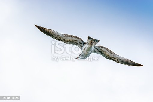 Cory's Shearwater bird gliding through the open skies off the east coast of North America.