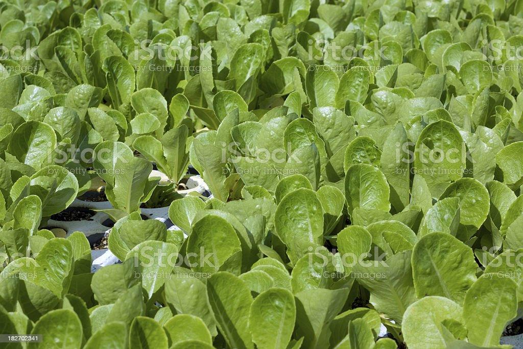 Cos lettuce seedlings stock photo