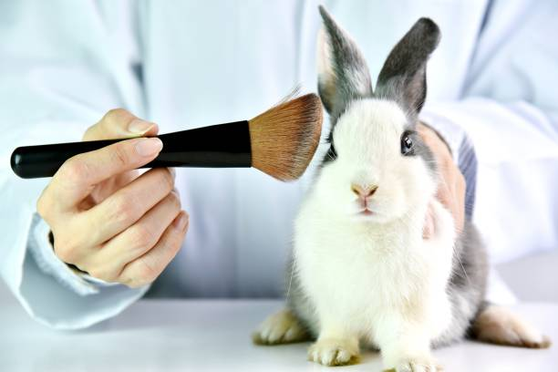 Cosmetics test on rabbit animal, Scientist or pharmacist do research chemical ingredients test on animal in laboratory, Cruelty free and stop animal abuse concept. stock photo
