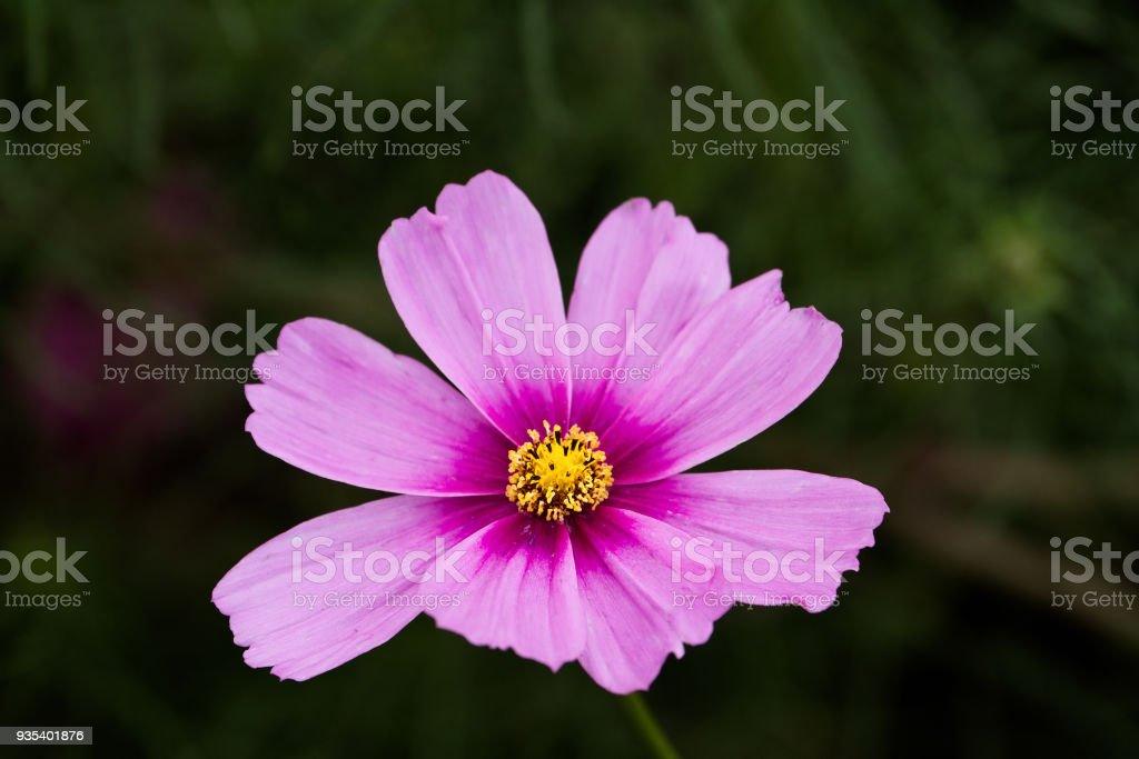 Cosmo Flower stock photo