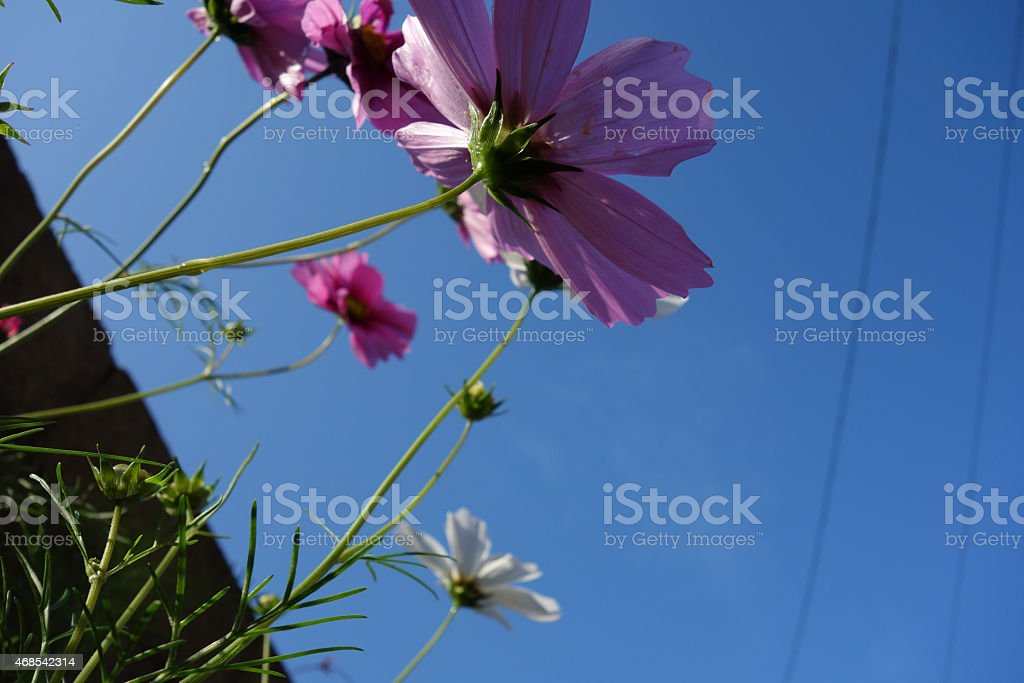 Cosmos and the morning light royalty-free stock photo