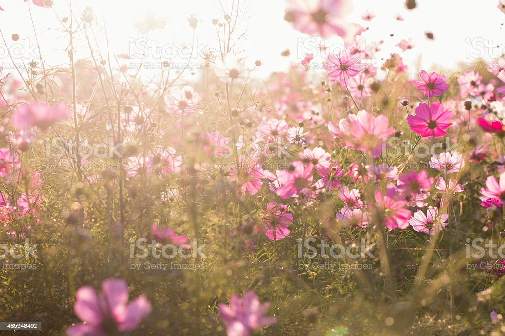 Cosmos backlighting with lens flare stock photo