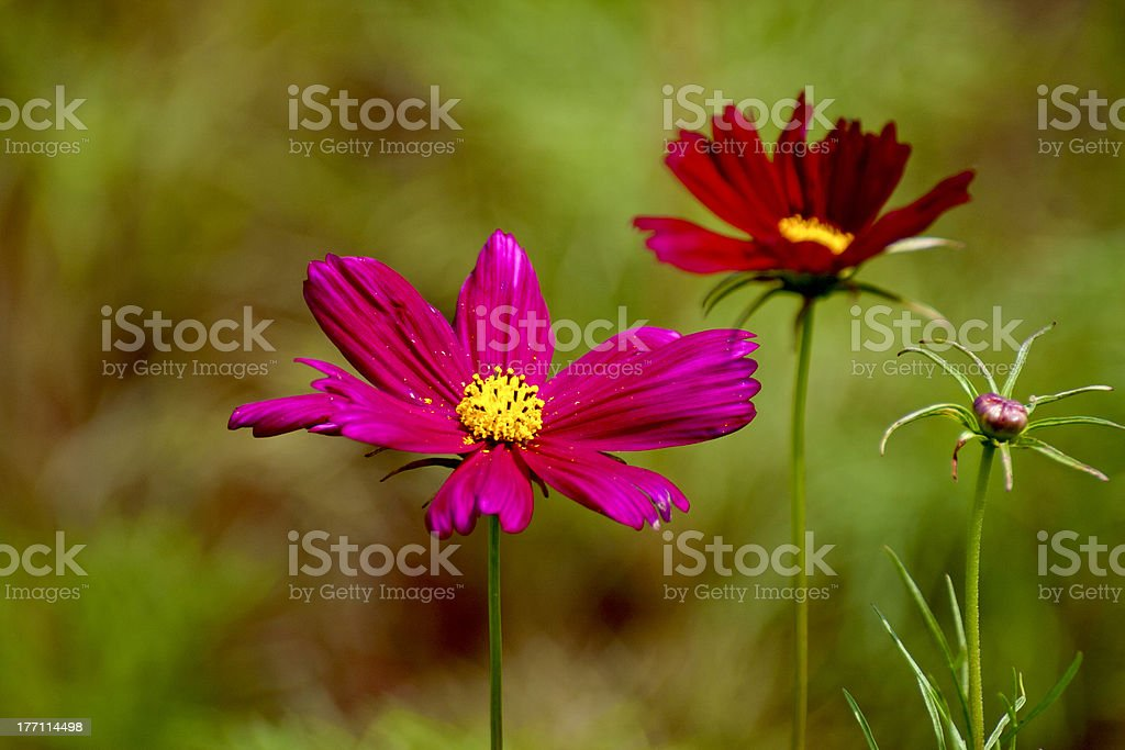 Cosmos bipinnatus colorful flowers royalty-free stock photo