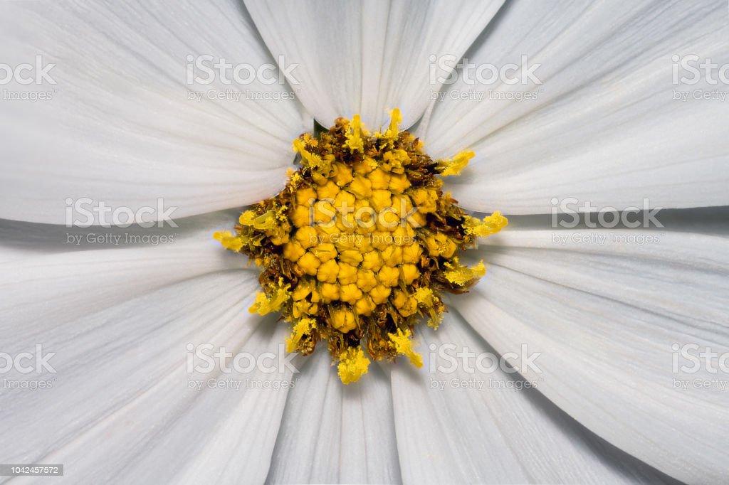 Cosmos bipinnatus 'Gazebo White' stock photo