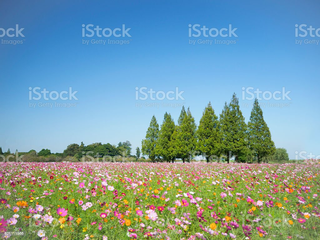 Cosmos blooming in triangular tree and one side stock photo