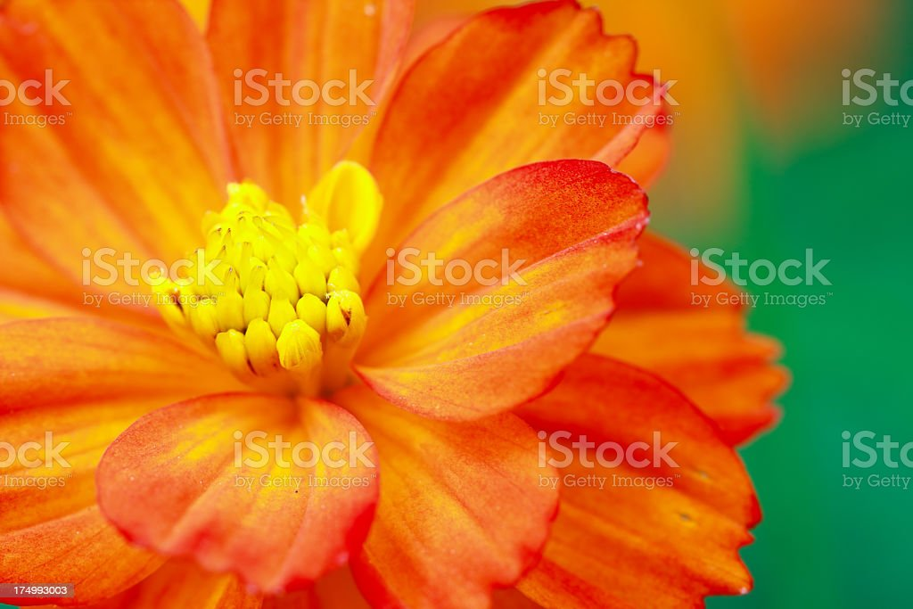 Cosmos close-up stock photo