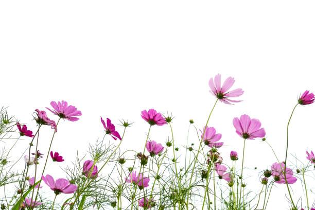 Cosmos flower blooming against white background picture id682050748?b=1&k=6&m=682050748&s=612x612&w=0&h=4pkc0mkx703qh x6xhyqys7 kdixmz7p5gmlzq22cbk=
