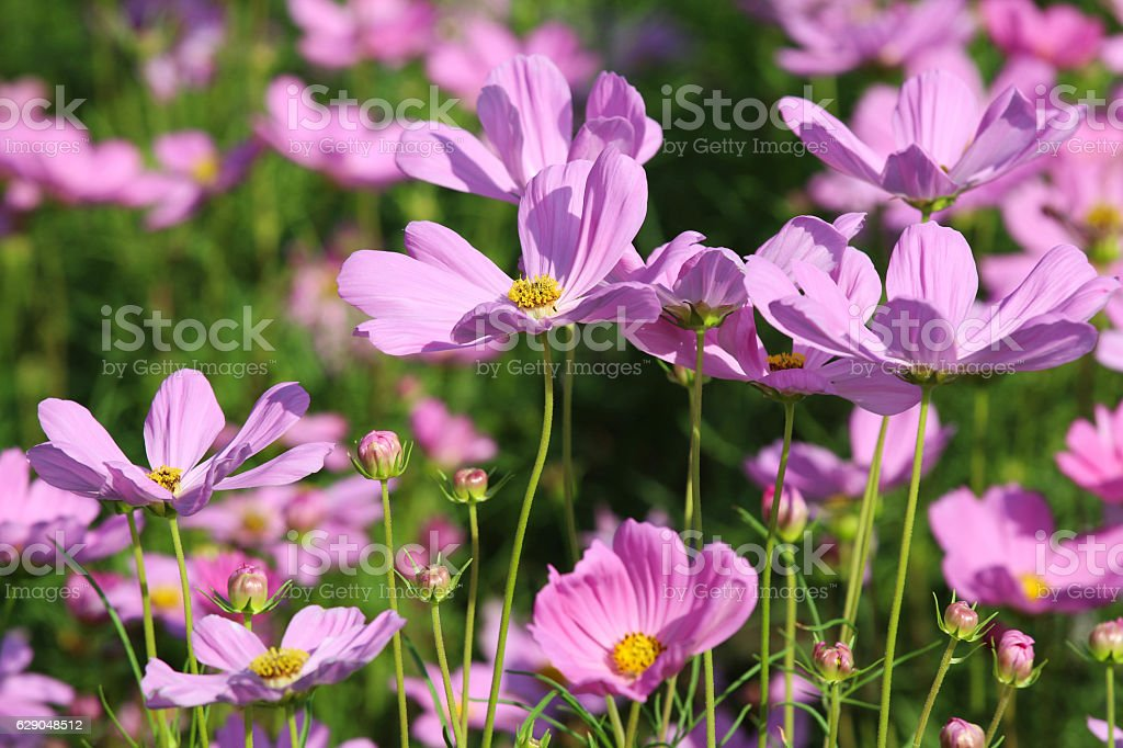 cosmos flower blossom in grass. stock photo