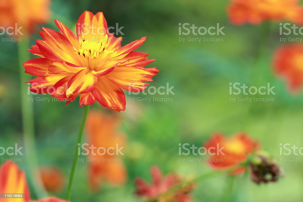 Cosmos flower close-up stock photo