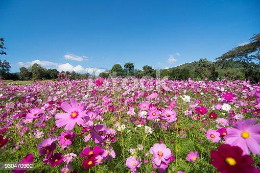 Cosmos Flower field with sky,spring season flowers blooming beautifully in the field
