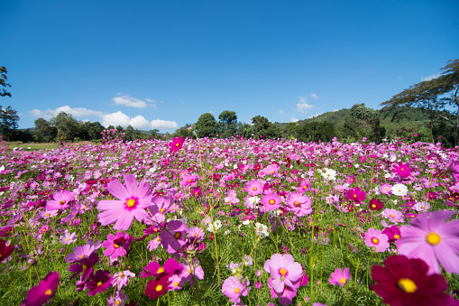 Cosmos Flower field with sky,spring season flowers blooming beautifully in the field