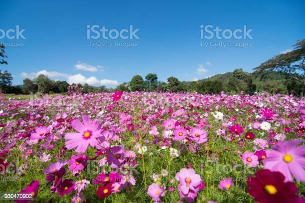 Cosmos flower field with skyspring season flowers blooming in the picture id930470902?b=1&k=6&m=930470902&s=612x612&h=cb ywluge61zxpr5ykwcwta1v8wxagou0nmzck7lwik=