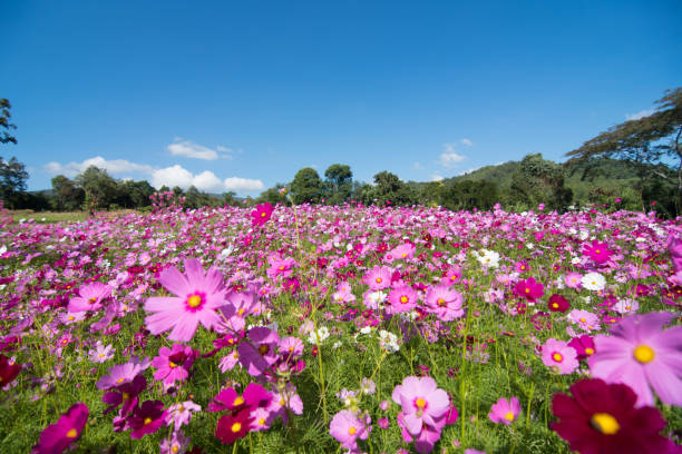 cosmos flower field with sky,spring season flowers blooming beautifully in the field - agricultural field stock pictures, royalty-free photos & images