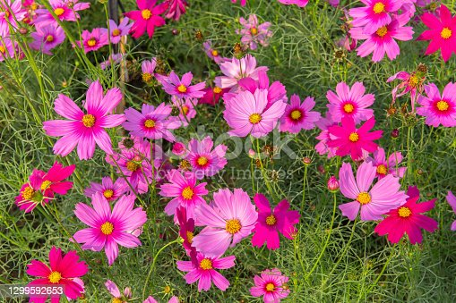 istock Cosmos Flower, Flower Head, Red, Pink Color, Multi Colored 1299592653