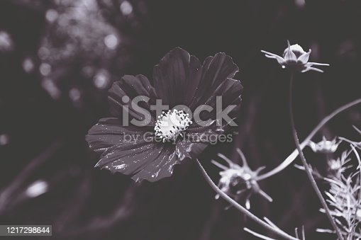 A Beautiful Delicate Cosmos Flower in Duotone Colour Scheme.