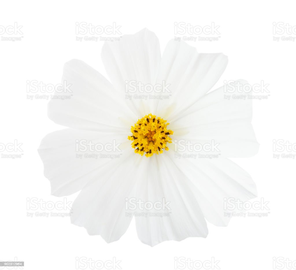 Cosmos flower isolated on white background. Garden Cosmos. stock photo