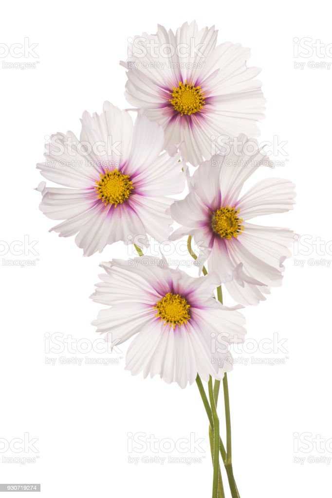 cosmos flower isolated on white stock photo
