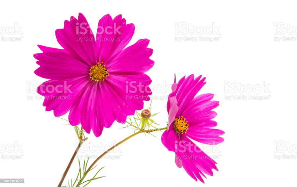 Cosmos flower isolated stock photo