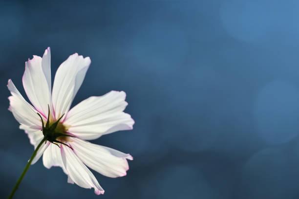 kopya alanı ile mavi arka plan bulanık cosmos çiçek - thank you background stok fotoğraflar ve resimler