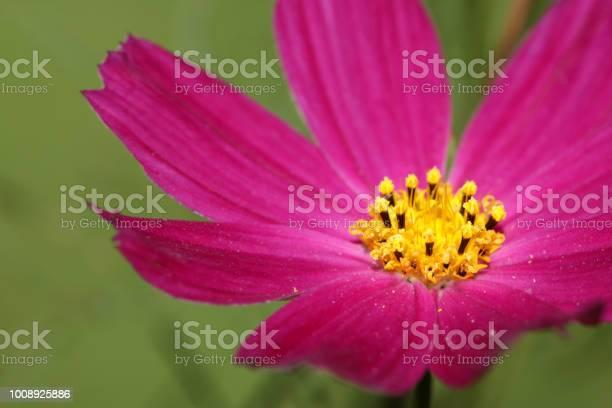 Cosmos flower picture id1008925886?b=1&k=6&m=1008925886&s=612x612&h=zg d0hmmi4ny2epr n f9yldkjlcjkv o3lbp38q5ui=