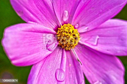 Cosmos flower in an English country garden with a rain drops on the petals.  .