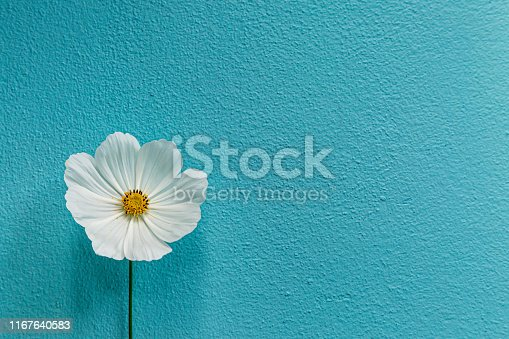 A single white cosmos flower against a textured blue background