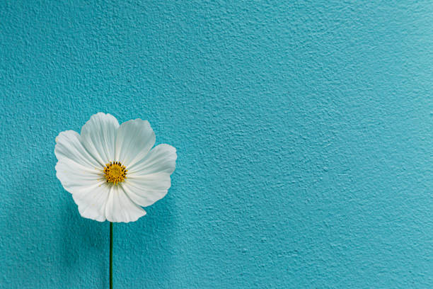 A Cosmos Flower A single white cosmos flower against a textured blue background single flower stock pictures, royalty-free photos & images