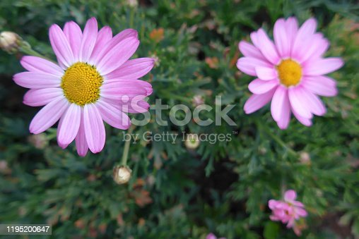 Beautiful cosmos flower over green background