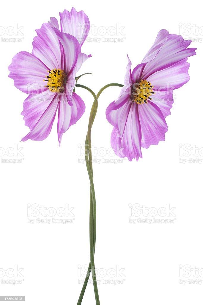 cosmos flower royalty-free stock photo