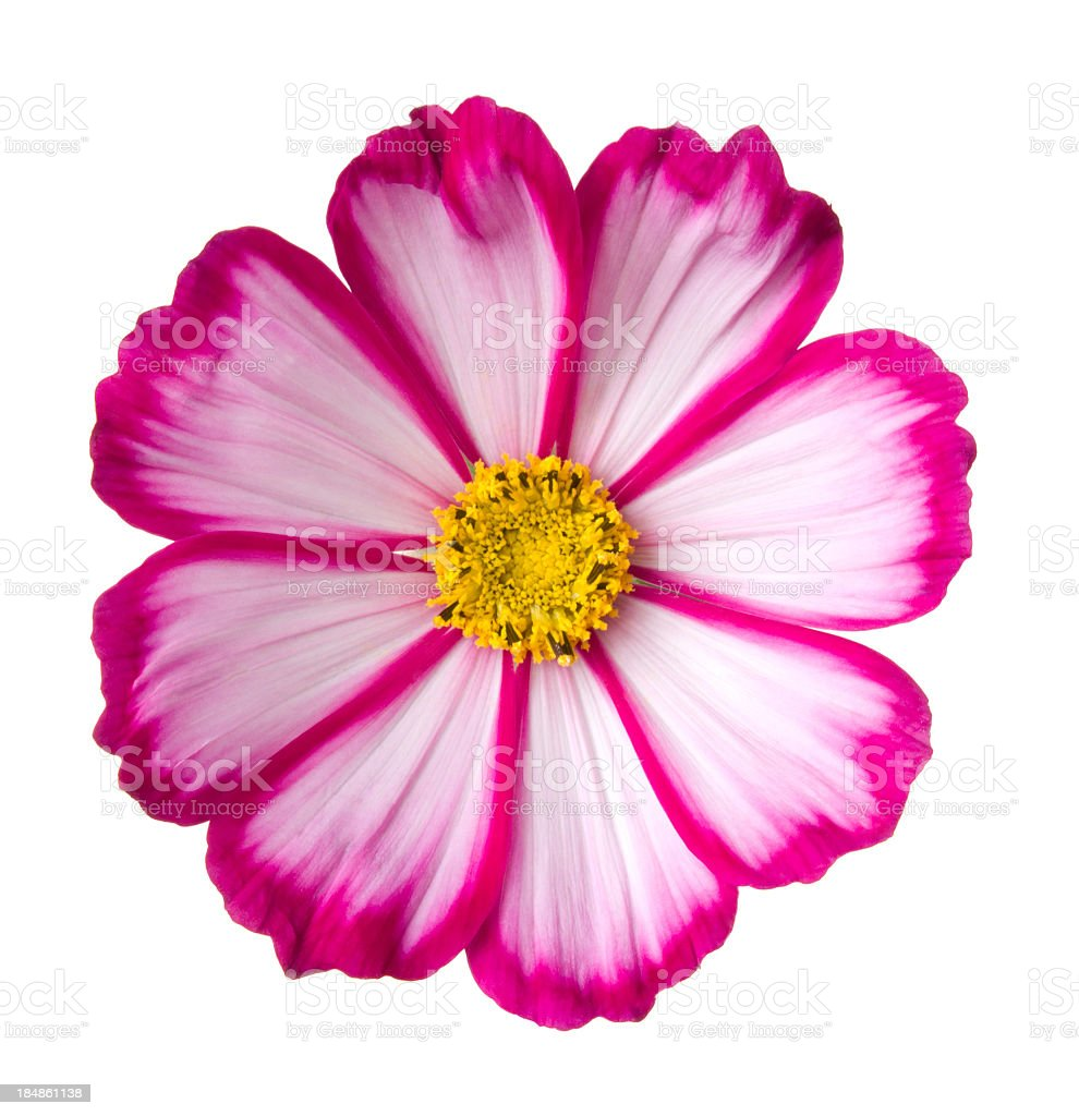 Cosmos flower. stock photo