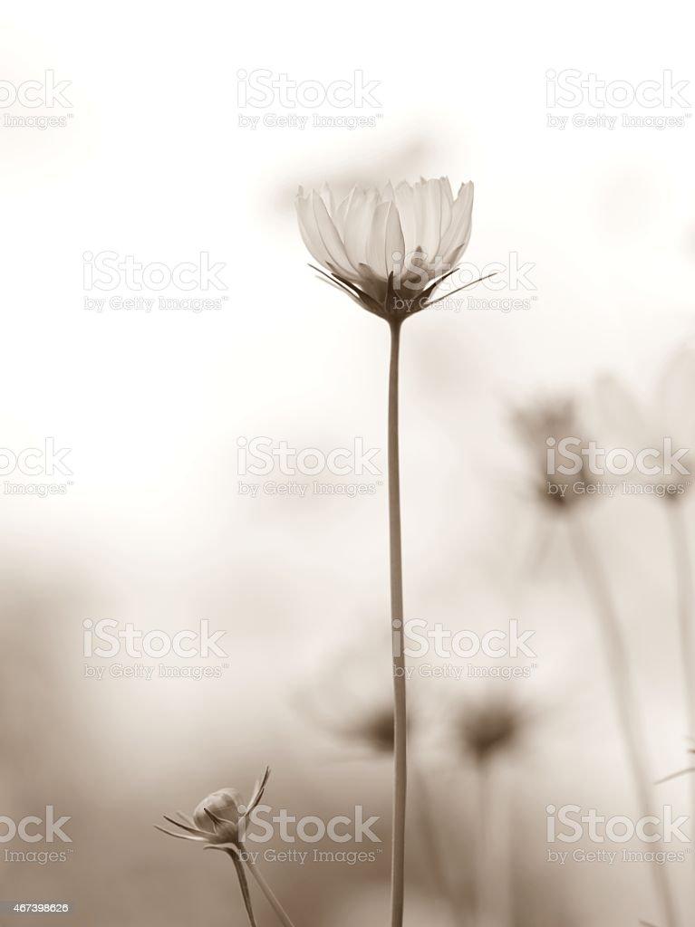 Flor del Cosmos - foto de stock